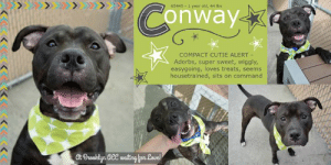 Conway, Dogs, and Food: 65445-1 year old, 44 lbs  Conway  COMPACT CUTIE ALERT  Adorbs, super sweet, wiggly,  easygoing, loves treats, seems  housetrained, sits on command  Gt Braoklyn Gee waiting for Lave! INTAKE DATE: 06-10-2019  Conway is the cutest boy in the world, so soft and gentle and wiggly. He loves food, will sit on command - especially for treats - and he seems to be housebroken. Please share Conway for his happy forever!  MY MOVIE:  Conway  https://youtu.be/rDOb3kdajgA   CONWAY@BROOKLYN ACC Conway ID# 65445  Sex: Male Age: 1 years old Size: Medium Length: Short Is Vaccinated: Yes Coat Type: Smooth Primary Color: Chocolate Weight: 44 lbs. Shelter Assessment Rating: LEVEL 3 Intake Date: 06-10-2019 My health has been checked My vaccinations are up to date My worming is up to date I have been microchipped Please take note of the Animal ID before contacting shelter    *** TO FOSTER OR ADOPT ***   If you would like to adopt a NYC ACC dog, and can get to the shelter in person to complete the adoption process, you can contact the shelter directly. We have provided the Brooklyn, Staten Island and Manhattan information below. Adoption hours at these facilities is Noon – 8:00 p.m. (6:30 on weekends)  If you CANNOT get to the shelter in person and you want to FOSTER OR ADOPT a NYC ACC Dog, you can PRIVATE MESSAGE our Must Love Dogs page for assistance. PLEASE NOTE: You MUST live in NY, NJ, PA, CT, RI, DE, MD, MA, NH, VT, ME or Northern VA. You will need to fill out applications with a New Hope Rescue Partner to foster or adopt a NYC ACC dog. Transport is available if you live within the prescribed range of states.  Shelter contact information: Phone number (212) 788-4000 Email adopt@nycacc.org  Shelter Addresses: Brooklyn Shelter: 2336 Linden Boulevard Brooklyn, NY 11208 Manhattan Shelter: 326 East 110 St. New York, NY 10029 Staten Island Shelter: 3139 Veterans Road West Staten Island, NY 10309  * NEW NYC ACC RATING SYSTEM * Level 1 Dogs with Level 1 determinations are suitable for the majority of homes. These dogs are not displaying concerning behaviors in shelter, and the owner surrender profile (where available) is positive.   Level 2  Dogs with Level 2 determinations will be suitable for adopters with some previous dog experience. They will have displayed behavior in the shelter (or have owner reported behavior) that requires some training, or is simply not suitable for an adopter with minimal experience.   Level 3 Dogs with Level 3 determinations will need to go to homes with experienced adopters, and the ACC strongly suggest that the adopter have prior experience with the challenges described and/or an understanding of the challenge and how to manage it safely in a home environment. In many cases, a trainer will be needed to manage and work on the behaviors safely in a home environment.  PLEASE ADOPT - DON'T STOP - FOSTERS ALSO ROCK!