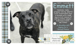 "Being Alone, Apparently, and Beautiful: 66437 2 years old, 76 lbs  Emmett  Handsome, hunky,  gorgeous coloring, sweet &  social, housetrained, lived  harmony with a small  dog & a bird, tolerant of  visiting children, playful-  loves toys & Fetch-  NEUTERED  in  At Brooklyn ACC  hoping for a  Second Chance  Please help  share me! TO BE KILLED - JUNE 27, 2019  ""EMMETT LOVES LONGS WALKS, RUNNING, AND PLAYING IN WATER,"" Emmett's owner told the shelter's intake staff just before signing him over to the Brooklyn ACC, leaving him not only sad but terrified and alone at this strange place. Emmett is a big, healthy and gorgeous young man with a beautiful black brindle coat. He's two years old, neutered and housetrained and has already lived in harmony with a small female dog and a bird. Emmett's a smart guy whose housetrained and crate trained. Take a look at his video's recorded by the shelter's volunteers and watch him go back for more love and affection when he realizes that the volunteers are pretty cool and actually rooting for him. Emmett has some pretty awesome notes from his former family. Please take a look, mull it over and consider giving this hunk a new leash on life. He's so worthy. <3   EMMETT@BROOKLYN ACC Hello, my name is Emmett My animal id is #66437 I am a desexed male brown brindle dog at the  Brooklyn Animal Care Center The shelter thinks I am about 2 years old, 76 lbs Came into shelter as owner surrender 6/18/2019 Reason Stated: OTHER  Emmett is rescue only   Emmett was placed at risk due to behavioral concerns; although he has shown improvement with certain handlers, Emmett remains highly fearful in the care center. We feel he would be best set up to succeed if placed with an experienced rescue partner who can allow him to acclimate and decompress at his own pace. Emmett is otherwise healthy.  You may know me from such films as...  https://www.youtube.com/watch?v=zZRjw3nmY8Y https://www.youtube.com/watch?v=rY-x5kFs_Hk  My medical notes are... Weight: 76.6 lbs Vet Notes 6/19/2019 DVM Intake Exam Estimated age: 2 years Microchip noted on Intake? negative History : os Subjective: BARH Observed Behavior - hard barking, lunging, trying to bite rope. Escalated to attempting to snap. Muzzled for exam.  Evidence of Cruelty seen - no Evidence of Trauma seen - no Objective  P = wnl  R = eupneic  BCS 5/9 EENT: Eyes clear, ears clean, no nasal discharge noted Oral Exam: muzzled H/L: NSR, NMA, CRT < 2, Lungs clear, eupneic ABD: Non painful, no masses palpated U/G: MN MSI: Ambulatory x 4, skin free of parasites, no masses noted, healthy hair coat CNS: mentation appropriate - no signs of neurologic abnormalities Assessment:Apparently healthy Plan: Continue to monitor while at BACC Start trazodone 5mg/kg PO BID for shelter anxiety Prognosis: Excellent SURGERY: neutered  Details on my behavior are... Behavior Condition: 5. Red  Behavior History Behavior Assessment Behavior during intake: Emmet had a very tense body with his chest exposed. He was hard barking and growling during intake. he did not allow for any handling by counselor.  Date of Intake: 6/18/2019  Spay/Neuter Status: Neutered  Basic Information:: Emmet is an approx 2 year old large brindle and white male neutered dog that was surrendered to BACC due to behavior concerns  Previously lived with:: 2 adults 1 dog  How is this dog around strangers?: Emmet is aggressive around strangers and he will bark and growl.  How is this dog around children?: Emmet has been around various ages of children and was described as tolerant but always supervised on a leash.  How is this dog around other dogs?: Emmet has lived with a 3 year old female small dog and was described as respectful and tolerant of the dog.  How is this dog around cats?: Emmet has not been around cats.  Resource guarding:: Emmet will growl if his treats are moved from him and is not bothered when toys or food is moved away.  Bite history:: Emmet has a bite history in April 2019 where he scratched the owner with his tooth when they were drying his paws.  Housetrained:: Yes  Energy level/descriptors:: high  Other Notes:: Emmet has lived with birds and was described as respectful around them. Emmet is not bothered when moved from the furniture, when held or restrained, or when his sleep is interrupted. Emmet will growl and snap when given a bath, brushing his coat, or when his paws are touched he will bite. Emmet will growl and bark when someone unfamiliar approaches the house or family member.  For a New Family to Know: Emmet is described as pushy and fearful. Emmet loves long walks, running, and playing in water. Emmet will follow someone around or be in the same room as someone when they are home. Emmet will play with balls, stuffed toys, squeaky toys, and chew toys. Emmet will play fetch, tug, and wrestling. Emmet has been kept mostly indoors and will sleep in his crate. Emmet has been fed instinct raw dry food twice a day. Emmet is house trained and will use the bathroom on grass. Emmet is well behaved while in the crate when left home alone. He does well in a metal crate for 8 hours. Emmet understands how to sit, come, down, stay, and give paw. Emmet will go on slow walks on the leash 3-5 times a day. Emmet pulls hard on the leash and will stay close by someone's side when off the leash.  ========================  Date of intake:: 6/18/2019  Spay/Neuter status:: Yes  Means of surrender (length of time in previous home):: Owner surrender  Previously lived with:: 2 Adults, 1 Dog (Small, Female - 3yo)  Behavior toward strangers:: Growls and barks  Behavior toward children:: Tolerant (w/visiting children)  Behavior toward dogs:: Respectful and tolerant (w/resident dog)  Behavior toward cats:: Unkonwn  Resource guarding:: Previous owner reported Emmett to growl if treats are moved away from him. No reported resource guarding over toys or food.  Previous owner reported Emmett to guard his bed and was observed to snarl and bark when approached or passing by him. He also displays mounting and guarding behavior toward soft objects (i.e. pillow or dog bed).   Previous owner reported Emmett to growl and snap when given a bath or brushing his coat. When his paws are touched he growl, snap and escalate to biting. Emmett was also reported to growl and bark when someone unfamiliar approaches the house or family member.  Bite history:: April 2019: Previous owner reported Emmett to scratch the owner with his tooth when attempting to dry his paws, resulting in breaking skin and drawing blood. He was observed to growl and snap toward the owner prior to making contact and immediately retreated and shook off after the incident.  Housetrained:: Yes  Energy level/descriptors:: Emmett is described as pushy and fearful with a high level of energy.  Summary:: Leash Walking Strength and pulling: Mild pulling Reactivity to humans: None Reactivity to dogs: None Leash walking comments:  Sociability  Loose in room (15-20 seconds): Soft and loose body, tail wagging, ears back, some panting, approaches handler, solicits attention, follows handler, readily accepts treats, engages in play with handler, play bows, leans into handler and accepts all contact, licks handler Call over: Approaches readily, soft and loose Sociability comments:   Handling  Soft handling: Soft and loose, tail wagging, ears back, open mouth and lolling tongue, some panting, sits down, leans into and accepts all contact Exuberant handling: Soft and loose, tail wagging, ears back, open mouth and lolling tongue, some panting, lays down, some lip licking, leans into and accepts all contact Handling comments:  Arousal Jog: Engages in play with handler, soft and loose Arousal comments:   Knock Knock Comments: No response to knock; Approaches assistant, soft and loose, ears back, tail wagging, solicits attention  Toy Toy comments: Minimal interest; Grips and moves away  Summary:: According to Emmett's previous owner, he has lived with a 3-year-old female small dog and was described as respectful and tolerant of the dog.  6/19: Emmett was uncomfortable with handling, giving the handlers a clear warning by freezing and hard staring when an attempt was made to place a collar on him. His warning was respected and attempts to place a collar on him were suspended. He greeted a novel female dog through the gate and displayed a neutral posture.  6/20: Emmett was successfully collared today. He was introduced to a novel female and displays a neutral posture but does not greet the female. He walks past her and explores the pens, keeping to himself.  Summary (1):: Emmett understands the cues for ""sit,"" ""give paw"" and ""down"".  Date of intake:: 6/18/2019  Summary:: Tense, hard barked, growled; No handling performed  Date of initial:: 6/19/2019  Summary:: Tense, hard barked, lunged, mouthing rope, snapped toward handlers; Muzzled  ENERGY LEVEL:: Emmett has been observed to exhibit a medium-high level of energy during his interactions in the care center. We cannot be certain of his behavior in a home environment, but we recommend that he be provided daily mental and physical stimulation as an outlet for his energy.  IN SHELTER OBSERVATIONS:: 6/21/19: When approaching his kennel and introducing the rope to him, Emmett was observed to stand up and retreat to the back of his kennel, low growling. He then began to hard bark and snap toward the rope when attempting to place it around him. After a few attempts, Emmett was able to walk out of his kennel and out into the play yards for an interaction. While outside, the handler clipped a leash to his collar without issue and Emmett began to explore the pens. He was observed to remain tense and wary of interacting with handlers and two other staff members, while seeking an exit. After some time, the handler sat down on a bench in the pens and Emmett was observed to approach her readily and leaned into the handler's legs for attention. Emmett was observed to accept all contact, as he slowly warmed up and continued to solicit attention. He was also observed to lick the handler's face. This behavior continued for about 10 minutes. After his interaction, the handler was able to slowly place the rope around Emmett and return him to his kennel.   6/22/19: Emmett was observed to be laying down in his kennel when the handler approached. Upon opening the door and introducing the rope, Emmett stood up and began to low growl, bare his teeth, hard bark and snap toward the rope when attempting to place it around him. After a few attempts, Emmett was able to be roped and walked out of his kennel without issue and outside for a relief walk. Once outside, he began to solicit attention from the handler and softly engage in play, leaning into all contact. When Emmett was brought back inside for his interaction, he allowed the handler to clip a leash to his collar and he was observed to explore the room. Emmett stayed near the handler and continued to solicit attention, lean into and accepted all contact. When introduced to tennis balls, Emmett was observed to engage in play and offered the handler play bows. He remained soft and loose, licking the handler and wagging his tail. During his interaction, a novel staff member entered the room and Emmett was observed to approach her readily with a soft, loose and wiggly body, soliciting attention and leaning into contact. After his interaction, Emmett allowed the handler to slowly place the rope around him and returned him to his kennel without any issue.  BEHAVIOR DETERMINATION:: New Hope Only  Behavior Asilomar: TM - Treatable-Manageable  Recommendations:: No children (under 13),Place with a New Hope partner  Recommendations comments:: No children (under 13): Due to Emmett's overall level of fear observed during his interactions in the care center, as well as his handling sensitivity, resource guarding and bite history previously reported in a home environment, we feel he would be best set up to succeed in an adult-only home at this time.   Place with a New Hope partner: Although he has shown improvement with certain handlers, Emmett remains highly fearful in the care center. We feel he would be best set up to succeed if placed with an experienced rescue partner who can allow him to acclimate and decompress at his own pace. Force-free, reward based training only is advised when introducing or exposing Emmett to new and unfamiliar situations, as well as utilizing guidance from a qualified, professional trainer/behaviorist.  Potential challenges: : Resource guarding,Handling/touch sensitivity,Fearful/potential for defensive aggression,Kennel presence,Bite history (human)  Potential challenges comments:: Resource guarding: Previous owner reported Emmett to growl if treats are moved away from him. No reported resource guarding over toys or food. Previous owner reported Emmett to guard his bed and was observed to snarl and bark when approached or passing by him. He also displays mounting and guarding behavior toward soft objects (i.e. pillow or dog bed). Please refer to the handout for Resource guarding.  Handling/touch sensitivity 