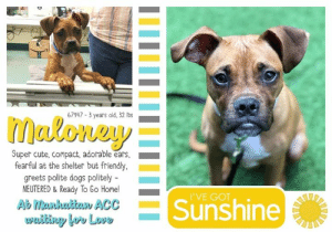 Animals, Children, and Click: 67947-3 years old, 32 lbs  maloney  Super cute, compact, adorable ears,  fearful at the shelter but friendly  greets polite dogs politely -  NEUTERED& Ready To Go Home!  I'VE GOT  Sunshine  Ab Manhutian ACC  wwiting lov Love TO BE KILLED - JULY 20, 2019  ADORABLE EARS <3 NEUTERED!!! How do you spell adorable? M-A-L-O-N-E-Y-! 32 lbs of the cutest nugget around. Sweet Maloney is a young, sociable, and playful doggie, who does super in doggie playgroup and making fans out of staff. His endearing little face goes from bashful expressions to cheerful expressions leaving everyone wanting more. He allows all handling, and did well on his assessment. Guaranteed to become anyone's pride and joy, Maloney impresses from head to tail. Though he belongs in a wonderful home, time is now not on his side since being placed on the dreaded list. Please message this page if you can save this super cute peanut.  MALONEY@MANHATTAN ACC Hello, my name is Maloney My animal id is #67947 I am a desexed male brown dog at the  Manhattan Animal Care Center The shelter thinks I am about 3 years old, 32 lbs Came into shelter as a agency 7/3/2019  Maloney is at risk for medical reasons. Maloney was diagnosed with canine infectious respiratory disease complex which is contagious to other animals and may require further care. Maloney has also shown signs of possible early kidney disease, please refer to the medical notes for more details. Behaviorally, Maloney has been fearful and should go to an experienced adopter that can provide gradual introductions to new people and environments.  You may know me from such films as...  My medical notes are... Weight: 32.1 lbs Vet Notes L V T Notes 7/6/2019 DVM Intake Exam Estimated age: 3y Microchip noted on Intake? no History : stray Subjective: BAR Observed Behavior - tense, but allows all handling during exam. Evidence of Cruelty seen -no Evidence of Trauma seen -no Objective  T = P =wnl R =wnl BCS 5/9  EENT: Eyes clear, ears c
