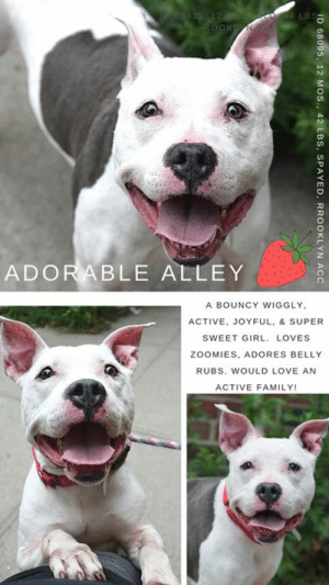 """7/11, Children, and Comfortable: 69333 12  LBS-  ROOKN  ADORABLE ALLEY  A BOUNCY WIGGLY,  ACTIVE, JOYFUL, & SUPER  SWEET GIRL, LOVES  ZOOMIES, ADORES BELLY  RUBS. WOULD LOVE AN  ACTIVE FAMILY!  ID 68095, 12 MOS., 42 LBS,  SPAYED, RROOKLYN ACC INTAKE DATE – 7/5/2019   Alley is a bouncy, happy, joyful puppy who is looking for a friend to do zoomies with! <3    She's a bundle of energy, wiggles and wags.  So typical of a puppy!  Alley is full of life, and full of joy.  She loves to interact with people, rolling over for belly rubs at the drop of a hat, and then jumping up to give them hugs and kisses.  She's a lot of dog, so you can see why she would be best with an active, fun family who have kids over age 13 that she won't tumble over in her exuberance.  She also could use some training in calming exercises like """"down stay"""" and """"place"""" so she can learn to remain calm in the face of distractions.   She's so eager to please, and she already surprised and delighted the staff with her perfect """"sit.""""   She'd do best with polite dogs who don't overwhelm her,  she loves to do zoomies around the play yard, and no one has a bigger smile, or a more welcoming and generous heart.  Don't let her languish, if you are an experienced foster or adopter in an adult only home (no kids under age 13), hurry and message our page or email us for assistance fostering or adopting her now.    MY MOVIE:  Alley  https://youtu.be/A_WYeP8IRbs  ALLEY, ID# 68095, 1 yr old, 52 lbs, Spayed Female Brooklyn ACC, Large Mix Breed, White / Gray    Surrender Reason:  Found Stray, brought in by finder Shelter Assessment Rating: NEW HOPE RESCUE ONLY No children (under 13)  Medical Behavior Rating:   BEHAVIOR NOTES  Alley is a white and gray large mixed breed spayed female dog.  She was found as a stray.  Her finder brought her to the shelter.  Finder reported Alley to resource guard, though no further details were reported.   SHELTER ASSESSMENT SUMMARIES:   Leash Walking Strength and pulling: Moderate pullin"""