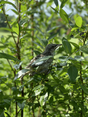 Today, Mind, and This: 7 Found this little birb while picking blueberries today. Thankfully it didn't mind sharing.