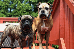 Click, Community, and Desperate: 7 Medical Funds - UPDATE  We've raised $4765 so far! That's amazing!  Every donation from our NWBR community is helping to literally save lives.  Even if you can't foster or volunteer with NWBR your funds are helping our boxer rescues when they need it the most.  If you are interested in donating to NWBR's Medical Fund please click here  https://www.gofundme.com/desperate-medical-funds-needed