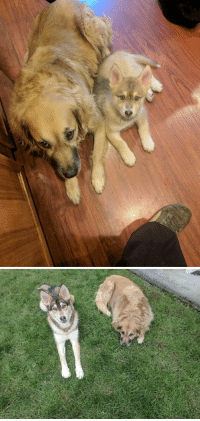 Husky, Pup, and Scale: 7 months difference in a husky pup. (55lb Golden Shepard for scale)