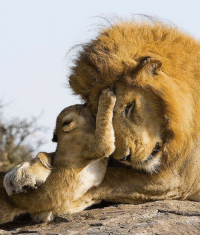 7 week old Lion Cub meets his dad for the first time.: 7 week old Lion Cub meets his dad for the first time.