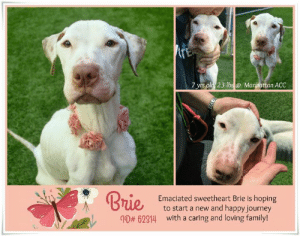 Cats, Children, and Dogs: 7 yrs old 23 ibs@ Mantattan ACC  Emaciated sweetheart Brie is hoping  Bue  to start a new and happy journey  with a caring and loving family!  # 62014 I have been returned :( 5/25/2019  Well... Brie's return is a big surprise. Brie and her brother Gouda were adopted together on May 13th - as we were told - by a shelter volunteer. But sadly her new mom now returned her for not getting along with her brother Gouda anymore and not being housetrained. :( Please share Brie again, she needs a new home and to start over again! TY very much!  BRIE, ID# 62314, 7 yrs old, xx lbs, Manhattan Animal Care Center, Large Mixed Breed Cross, White Female Adoption Return (was adopted 05/13/19) Owner Surrender Reason: not getting along with her brother anymore, not being housetrained Shelter Assessment Rating:  Medical Behavior Rating:  MEDICAL NOTE  Brie is very ill with upper respiratory Infection (Kennel Cough) - she is in ISO in the shelter :(  ---------------------------------------------------------  NOTES FIRST STAY / Intake 05/09/19  A volunteer writes:  Gouda and sister Brie did not know their lucky star was shining upon them when they were found and brought to the care center. Life had been very harsh on them and it was about time they see the end of the tunnel. Gouda and Brie are right now in the spot light that shines real bright on their frail frames. Word they are with us is spreading and we are eager to see them start a new and happy journey with a caring and loving family.  BRIE, ID# 62314, 7 yrs old, 23 lbs, Manhattan Animal Care Center, Large Mixed Breed Cross, White Female Owner Surrender Reason:  Shelter Assessment Rating:  Medical Behavior Rating:  CAME IN WITH GOUDA ID# 62313 (still safe)   * TO FOSTER OR ADOPT *   If you would like to adopt a NYC ACC dog, and can get to the shelter in person to complete the adoption process, you can contact the shelter directly. We have provided the Brooklyn, Staten Island and Manhattan information below. Adoption hours at these facilities is Noon – 8:00 p.m. (6:30 on weekends)  If you CANNOT get to the shelter in person and you want to FOSTER OR ADOPT a NYC ACC Dog, you can PRIVATE MESSAGE our Must Love Dogs page for assistance. PLEASE NOTE: You MUST live in NY, NJ, PA, CT, RI, DE, MD, MA, NH, VT, ME or Northern VA. You will need to fill out applications with a New Hope Rescue Partner to foster or adopt a NYC ACC dog. Transport is available if you live within the prescribed range of states.  Shelter contact information: Phone number (212) 788-4000 Email adopt@nycacc.org  Shelter Addresses: Brooklyn Shelter: 2336 Linden Boulevard Brooklyn, NY 11208 Manhattan Shelter: 326 East 110 St. New York, NY 10029 Staten Island Shelter: 3139 Veterans Road West Staten Island, NY 10309  * NEW NYC ACC RATING SYSTEM *  Level 1 Dogs with Level 1 determinations are suitable for the majority of homes. These dogs are not displaying concerning behaviors in shelter, and the owner surrender profile (where available) is positive. Some dogs with Level 1 determinations may still have potential challenges, but these are challenges that the behavior team believe can be handled by the majority of adopters. The potential challenges could include no young children, prefers to be the only dog, no dog parks, no cats, kennel presence, basic manners, low level fear and mild anxiety.   Level 2  Dogs with Level 2 determinations will be suitable for adopters with some previous dog experience. They will have displayed behavior in the shelter (or have owner reported behavior) that requires some training, or is simply not suitable for an adopter with minimal experience. Dogs with a Level 2 determination may have multiple potential challenges and these may be presenting at differing levels of intensity, so careful consideration of the behavior notes will be required for counselling. Potential challenges at Level 2 include no young children, single pet home, resource guarding, on-leash reactivity, mouthiness, fear with potential for escalation, impulse control/arousal, anxiety and separation anxiety.   Level 3 Dogs with Level 3 determinations will need to go to homes with experienced adopters, and the ACC strongly suggest that the adopter have prior experience with the challenges described and/or an understanding of the challenge and how to manage it safely in a home environment. In many cases, a trainer will be needed to manage and work on the behaviors safely in a home environment. It is likely that every dog with a Level 3 determination will have a behavior modification or training plan available to them from the behavior department that will go home with the adopters and be made available to the New Hope Partners for their fosters and adopters. Some of the challenges seen at Level 3 are also seen at Level 1 and Level 2, but when seen alongside a Level 3 determination can be assumed to be more severe. The potential challenges for Level 3 determinations include adult only home (no children under the age of 13), single pet home, resource guarding, on-leash reactivity with potential for redirection, mouthiness with pressure, potential escalation to threatening behavior, impulse control, arousal, anxiety, separation anxiety, bite history (human), bite history (dog) and bite history (other).