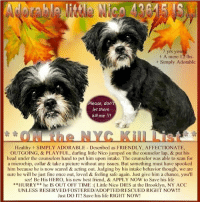 Being Alone, Apparently, and Best Friend: 7 yrs you  A mere 12 lbs  Simply Adorable  Please, dont  let them  kill me !!!  Healthy + SIMPLY ADORABLE Described as FRIENDLY, AFFECTIONATE,  OUTGOING, & PLAYFUL, darling little Nico jumped on the counselor lap, & put his  head under the counselors hand to pet him upon intake. The counselor was able to scan for  a microchip, collar& take a picture without any issues. But something must have spooked  him because he is now scared & acting out. Judging by his intake behavior though, we are  sure he will be just fine once out, loved & feeling safe again. Just give him a chance, you'll  see! Be His HERO, his new best friend, & APPLY NOW to Save his life  **HURRY* he IS OUT OFF TIME Little Nico DIES at the Brooklyn, NY ACC  UNLESS RESERVED/FOSTERED/ADOPTED/RESCUED RIGHT NOW!!!  Just DO IT! Save his life RIGHT NOW! ***** To Be KILLED 10/17/18 in NYC *****  Healthy + SIMPLY ADORABLE - Described as FRIENDLY, AFFECTIONATE, OUTGOING, & PLAYFUL, darling little Nico jumped on the counselors lap, & put his head under the counselors hand to pet him upon intake. The counselor was able to scan for a microchip, collar & take a picture without any issues. But something must have spooked him because he is now scared & acting out. Judging by his intake behavior though, we are sure he will be just fine once out, loved & feeling safe again. Just give him a chance, you'll see! Be His HERO, his new best friend, & APPLY NOW to Save his life **HURRY** he IS OUT OFF TIME :(  Little Nico DIES at the Brooklyn, NY ACC UNLESS RESERVED/FOSTERED/ADOPTED/RESCUED RIGHT NOW!!! Just DO IT! Save his life RIGHT NOW!   Nico 43615 Hello, my name is Nico.  My animal id is #43615. I am a neutered little Shih Tzu at the Brooklyn Animal Care Center.  The shelter thinks I am about 7 years 1 weeks old. Please, Please, Please, save me!  Behavior during intake:  Nico had a tense body and was hiding behind the owners chair during intake.  After several minutes, he approach
