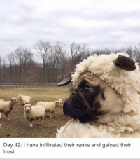 undercover pug: Day 42: I have infiltrated their ranks and gained their  trust undercover pug