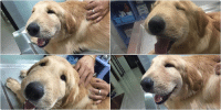 this Golden Retriever got stung by a wasp & ended up with a swollen face. Hes taking it rather well & looks adorable: this Golden Retriever got stung by a wasp & ended up with a swollen face. Hes taking it rather well & looks adorable