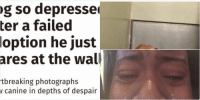 Dogs, Fail, and Funny: Dog so depressed  after a failed  adoption he just  stares at the wall  Heartbreaking photographs  show canine in depths of despair