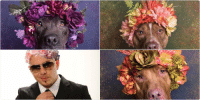 the photographer is portraying the pitbull breed as beautiful rather than their stereotypes, I love this campaign: SPitBull FlowerPower  Sophie Gamand the photographer is portraying the pitbull breed as beautiful rather than their stereotypes, I love this campaign