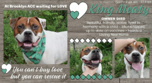 """INTAKE DATE: 08-10-2019  What a hunk! Check out King Meaty @ BACC!   Adorable King Meaty finds himself in the shelter due to his beloved owner's passing. Sadly his owner's father did not feel able to to care for him and had to surrender his son's boy. King is a friendly and waggy boy who lived in harmony with a 7 yr old child, enjoys playing fetch and welcomes strangers in a friendly manner. King understands the cues for """"sit"""" and """"come."""" Please share King Meaty for a new loving home!  KING MEATY, ID# 72217, 2 yrs old, 67.4 lbs, Brooklyn Animal Care Center, Large Mixed Breed Cross, White / Brown Male, Shelter Assessment Rating: LEVEL 2 Owner Surrender Reason: King Meaty's O died, surrendered by father of O - the owner's father is surrendering him due to not being able to continue caring for him No young children (under 5) Medical Behavior Rating: Blue  OWNER SURRENDER NOTES - BASIC INFORMATION: King is a 2 year old male large mixed breed. It is unknown when the last time he visited a vet was. King Meaty*s owner died. The owner's father is surrendering him due to not being able to continue caring for him. He previously lived with 1 adults and 1 child. Around strangers, King is friendly and exuberant. Around children aged 7, he is relaxed but doesn't really play with them. King has not lived with other dogs, but he doesn't play with them if he's around them. King Meaty*s behavior around cats is unknown. King isn't bothered when his food is being touched while eating, or if his treat or toy are taken away. He has no bite history and his owner states, that King is not housetrained. His energy level is describes as high.  Other Notes: King often destroys stuff outdoors, but isn't bothered during fireworks or storms. King isn't bothered if disturbed while sleeping or given a bath. Although he likes being brushed, he will growl. He is friendly when someone unfamiliar will approach the house or a family member.  Has this dog ever had any medical issues? No  For a New Family"""