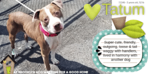 Cats, Children, and Comfortable: 72246-3 years old, 52 lb  atum  Super cute, friendly  outgoing, loose &tail-  waggy with handlers,  tived in harmony with  another dog  ATBROOKLYNACO WATTING FOR A GOOD HOME TO BE KILLED - 8/20/2019  ADORABLE BABY-FACED TATUM has the face of a puppy but he's actually 3 years old. Tatum was once chosen to become a part of a family. He was adored, promised forever, and then abandoned without the slightest consideration. Tatum was so delighted to belong, to cherish, protect and serve. He lived in harmony with his family and sought approval from the home he thought would always reciprocate his unconditional love. Forever to a doggie means forever till their last breathe, and though they don't live that long, each moment spent is done so with only tenderness, and affection toward their family and we're pretty certain this was the case for adorable Tatum. The tragedy here is that despite betrayal, Tatum (like most dogs) continues to love the home that discarded him and would stop at nothing for them. The beauty in this tragedy is the pureness of Tatum's heart to love again. This is why he deserves a loving home who will not renege on this promise. Tatum is out of time today and badly in need of second chance in a good home. Please help us share this cutie so he isn't overlooked.   TATUM@BROOKLYN ACC Hello, my name is Tatum My animal id is #72246 I am a male tan dog at the  Brooklyn Animal Care Center The shelter thinks I am about 3 years old, 52 lb Came into shelter as ACO impound 8/10/2019 Tatum is rescue only   Tatum was placed at risk due to behavioral concerns; Although he has shown some improvement, Tatum remains overall aloof and fearful during his interactions in the care center. Due to these observations, combined with the intensity of his resource guarding behavior, we feel he would be best set up to succeed if placed with an experienced rescue partner who can help manage these behaviors and decompress in a more stable environment, prior to seeking permanent placement. Tatum was diagnosed with Alopecia and Dermatitis.   My medical notes are... Weight: 52.2 lbs  Vet Notes 8/12/2019  Your newly adopted pet has been diagnosed with dermatitis and the staff veterinarians are issuing a TEMPORARY waiver from the spay/neuter requirements of the City of NY. Follow up care at your regular veterinarian is recommended to ensure continued treatment through to the resolution of the issue. At the time of a full recovery you may choose to have your veterinarian perform the spay/neuter surgery, or make provisions to return the pet to ACC for sterilization.  8/12/2019  DVM Intake Exam  Estimated age: ~ 3 years Microchip noted on Intake? No  History :Stray  Subjective: BARH. No csvd  Observed Behavior -Very hyper and excited, loose body, tail wagging. Escalated very quickly during PE, began hard barking and attempting to bite. Head shy. Muzzled as a precaution. Resisted all handling. Limited PE due to P temperament.   Evidence of Cruelty seen - no  Evidence of Trauma seen - no  Objective  P = wnl R = wnl BCS 5/9  EENT: No ocular/nasal discharge. Unable to examine ears due to P temperament. Periocular alopecia noted.  Oral Exam: adult dentition, difficult to assess due to P temperament  PLN: No enlargements noted H/L: No murmurs or arrythmias ausculted. Normal BV sounds, no crackles or wheezes.  ABD: Tense, mon painful, no masses palpated U/G: MI, 2 palpable testicles, no discharge MSI: Ambulatory x 4, no ectoparasites noted, generalized alopecia noted on dorsum, dry/flaky skin, errythematous ventrum with epidermal collarettes noted in inguinal area  CNS: Mentation appropriate - no signs of neurologic abnormalities Rectal: normal externally  Assessment: Mild dermatitis   Prognosis:  Good  Plan:  Continue to monitor at BACC  Start Simplicef 200mg PO SID x 10 days, reassess skin  Recommend medicated baths (may be difficult due to P temperament)  SURGERY: Temporary waiver due to dermatitis   8/15/2019  8/12 Intake- Dermatitis, started on Simplicef  8/15 Start trazodone 5 mg/kg po bid indefinitely for shelter anxiety  Details on my behavior are... Behavior Condition: 3. Yellow  Behavior History Behavior Assessment Allowed all handling on intake.  Date of Intake: 8/10/2019  Basic Information:: Friendly dog. Previously lived with:: 1 Adult How is this dog around strangers?: Friendly out going. How is this dog around children?: N/A How is this dog around other dogs?: lived with 1 dog. How is this dog around cats?: Unknown. Resource guarding:: Unknown.  Bite history:: None. Housetrained:: Unknown Energy level/descriptors:: Med Other Notes:: Friendly jumped right in truck no problem. Medical Notes: N/A For a New Family to Know: Friendly doggie looking for a new home.  ======================  Date of intake:: 8/10/2019  Spay/Neuter status:: No  Means of surrender (length of time in previous home):: Stray, no known history  Summary:: Leash Walking Strength and pulling: Hard pulling Reactivity to humans: None Reactivity to dogs: Moderate; Lunged toward novel dog in neighboring kennel, continued to display lunging behavior when walking out of the room; Settled after a few minutes Leash walking comments:   Sociability Loose in room (15-20 seconds): Neutral body and tail, explores readily, lip licking, ears neutral, accepts contact, approaches readily Call over: Approaches readily, tail wagging Sociability comments:   Handling  Soft handling: Neutral-tense, leans into handler, closed mouth, distracted, slow head turns, accepts all contact Exuberant handling: Neutral-tense, closed mouth, ears erect, leans into and accepts all contact Handling comments:  Arousal Jog: Engages in play with handler, soft and loose, tail high and wagging, some panting Arousal comments:   Knock Knock Comments: Panting and pacing when assistant exits, marking; No response to knock; Approaches assistant readily, tail wagging, does not solicit attention  Toy  Toy comments: Growls, snaps and bites assess-a-hand  Summary:: Tatum was brought in as a stray so his behavior around other dogs is unknown.  8/12: Tatum barks and lunges at the novel female dog when he sees her at the gate. No further introduction is conducted due to the inexperience of the greeter dog.   8/13: Tatum was muzzled as a precaution today due to the previous behaviors displayed. He initially fixates on the muzzle and attempts to remove it. But when he sees the female approaching, he stiffens and watches her with hard eyes. He does not escalate and returns to scratching at the muzzle when the female walks away.  Date of intake:: 8/10/2019  Summary:: Allowed all handling  Date of initial:: 8/12/2019  Summary:: Loose, tail wagging, hyper; Barked, snapped, head shy; Muzzled, allowed limited handling  ENERGY LEVEL:: Tatum has been observed to exhibit a medium level of energy during his interactions in the care center. We cannot be certain of his behavior in a home environment, but we recommend that he be provided daily mental and physical stimulation as an outlet for his energy.  BEHAVIOR DETERMINATION:: New Hope Only  Behavior Asilomar: TM - Treatable-Manageable  Recommendations:: No children (under 13),Place with a New Hope partner  Recommendations comments:: No children (under 13): Due to Tatum's observed resource guarding, anxiety, fearful behavior and on-leash reactivity, we feel he would be best set up to succeed in an adult-only home at this time.  Place with a New Hope partner: Although he has shown some improvement, Tatum remains overall aloof and fearful during his interactions in the care center. Due to these observations, combined with the intensity of his resource guarding behavior, we feel he would be best set up to succeed if placed with an experienced rescue partner who can help manage these behaviors and decompress in a more stable environment, prior to seeking permanent placement. Force-free, reward based training only is advised when introducing or exposing Tatum to new and unfamiliar situations, as well as utilizing guidance from a qualified, professional trainer/behaviorist.  Potential challenges: : Resource guarding,Fearful/potential for defensive aggression,Anxiety,On-leash reactivity/barrier frustration,Strength/leash pulling  Potential challenges comments:: Resource guarding: During his assessment, Tatum displayed resource guarding behavior when introduced to a plush squeaky toy where he was observed to tense, lunge, growl and bite. Tatum refocused readily and traded for high value treats. Please refer to the handout for Resource guarding  Fearful/potential for defensive aggression: Although Tatum has shown some improvement and accepts some contact, he remains fearful when introduced or exposed to new situations where he has been observed to be wary of interacting, displays a tense body and hard stares toward staff. Tatum has escalated to hard barking and snapping when uncomfortable (observed during his initial medical exam and while in his kennel). Tatum should never be forced to interact or approach if he is not comfortable and positive association should be paired with anything he displays fear toward. Please refer to the handout for Fearful/potential for defensive aggression.  Anxiety:   On-leash reactivity/barrier frustration: Tatum exhibits on-leash reactivity/barrier frustration during his interactions in the care center, where he has been observed to lunge and hard bark toward novel dogs. This behavior has been observed when removing him from his kennel and during his playgroup interactions (SEE DOG-DOG SUMMARY). Please refer to the handout for on-leash reactivity/barrier frustration.  Strength/leash pulling: Tatum was observed to display leash pulling due to his strength. Please refer to the handout on Strength/leash pulling.  TATUM IS RESCUE ONLY…..TO SAVE THIS PUP YOU MUST FILL OUT APPLICATIONS WITH AT LEAST 3 NEW HOPE RESCUES. PLEASE HURRY!!!   IF YOU CAN FOSTER OR ADOPT THIS PUP, PLEASE PM OUR PAGE FOR ASSISTANCE. WE CAN PROVIDE YOU WITH LINKS TO APPLICATIONS WITH NEW HOPE RESCUES WHO ARE CURRENTLY PULLING FROM THE NYC ACC.  PLEASE SHARE THIS DOG FOR A HOME TO SAVE HIS LIFE.