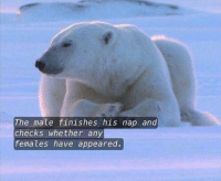 The male finishes his nap and  checks whether any  females have appeared. This Polar Bear is my spirit animal