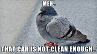 Not today, pigeon!: MEH  THAT CAR IS NOT CLEAN ENOUGH Not today, pigeon!