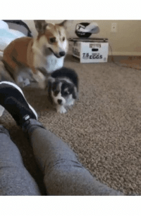 Pupper,  Leap, and Heckin: 75rcos Pupper does a heckin leap