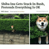 Shiba Inu Gets Stuck In Bush,  Pretends Everything Is OK  Like Bored Panda on FB:  44K views hours ago by Low Laichow