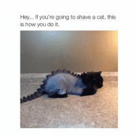 Cats, Cute, and Girl Memes: Hey... If you're going to shave a cat, this  is how you do it. cute
