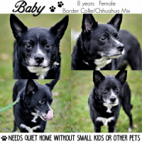 Chihuahua, Memes, and Border Collie: 8 years Female  Border Collie/Chihuahua Mix  NEEDS QUIET HOME WITHOUT SMALL KIDS OR OTHER PETS All dogs/puppies in our shelter can be viewed here.  Any dog not being held as a stray is available for immediate, same-day adoption! Adoption applications are reviewed on site. Please share our dogs and help get them out of the shelter as quickly as possible!  **PLEASE NOTE**  Placing an application on a dog featured in this album does NOT hold the dog for you.  All available dogs are available to be met and adopted same day if already altered.  If not altered, the dog can be met and paid for in order to hold the dog for you.  Thank you for your understanding!