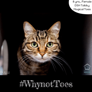 #WhynotToes Would you like to take one guess as to why my name is Toes? Because I'm extra special and a polydactyl - no I'm not a type of dinosaur, I have extra toes- I'm pretty sure that gives me magical powers status! Besides that, I'm a pretty chill kitty who likes to take things slow but is very affectionate, loves laps and relaxing. I'd really prefer a calmer home with an experienced cat person, that someone special who will understand my quirks and accept me for who I am. Don't we all want that? I can be a bit sensitive to my environment so a kid and dog-free home is best, though I don't mind other kitties. So what are you waiting for? Go find out more about me and my magical toes at Seattle Area Feline Rescue! Yours truly, -TOES 😻 #WhynotMEpets #adopt #sharingiscaring #polydactyl Healthy Paws Pet Insurance Pet Connection Magazine: 8 yrs., Female  DSH Tabby  Magical Toes  RESCUE  #Wryldt Toes  ynotToes #WhynotToes Would you like to take one guess as to why my name is Toes? Because I'm extra special and a polydactyl - no I'm not a type of dinosaur, I have extra toes- I'm pretty sure that gives me magical powers status! Besides that, I'm a pretty chill kitty who likes to take things slow but is very affectionate, loves laps and relaxing. I'd really prefer a calmer home with an experienced cat person, that someone special who will understand my quirks and accept me for who I am. Don't we all want that? I can be a bit sensitive to my environment so a kid and dog-free home is best, though I don't mind other kitties. So what are you waiting for? Go find out more about me and my magical toes at Seattle Area Feline Rescue! Yours truly, -TOES 😻 #WhynotMEpets #adopt #sharingiscaring #polydactyl Healthy Paws Pet Insurance Pet Connection Magazine