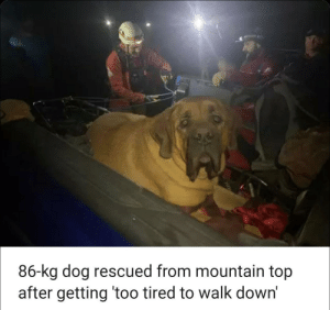 Animal, Spirit, and Dog: 86-kg dog rescued from mountain top  after getting 'too tired to walk down' Found my spirit animal..