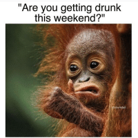 "Yes, I'm getting drunk this weekend and by the end of the it I'm going to look early like this monkey. @drunkfail: ""Are you getting drunk  this weekend?""  @drunkfail Yes, I'm getting drunk this weekend and by the end of the it I'm going to look early like this monkey. @drunkfail"