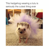 baby: This hedgehog wearing a tutu is  seriously the cutest thing ever baby