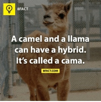 llama: 8FACT  camel and a llama  A can have a hybrid.  It's called a cama.  8FACT COM