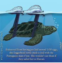 Anybody who lays 100+ eggs deserves a break. But even if YOU could lay 100 eggs, that doesn't mean you should let the man o'wars sail you around for your next vacation. Their tentacles contain a deadly venom! A loggerhead turtle's skin is thick enough so that it doesn't get penetrated. Nobody knows how turtles can eat the poison, though. 🌊 🐢: 9 Exhausted from having just laid around 100 eggs  this loggerhead turtle made a deal with the  O Portuguese man o war. She wouldn't eat them if  they sailed her to Hawaii. Anybody who lays 100+ eggs deserves a break. But even if YOU could lay 100 eggs, that doesn't mean you should let the man o'wars sail you around for your next vacation. Their tentacles contain a deadly venom! A loggerhead turtle's skin is thick enough so that it doesn't get penetrated. Nobody knows how turtles can eat the poison, though. 🌊 🐢