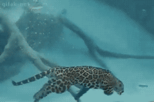thefingerfuckingfemalefury:   bunjywunjy: casual reminder that Jaguars are maybe three evolutionary transitions from becoming really badass seals CATFISH : 9  gifak ne thefingerfuckingfemalefury:   bunjywunjy: casual reminder that Jaguars are maybe three evolutionary transitions from becoming really badass seals CATFISH