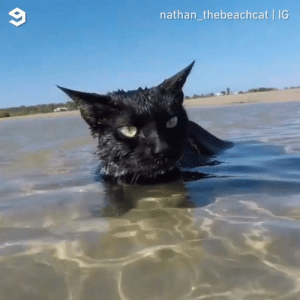 Beach panther, the king of catfish.  By Nathan the Beach Cat: 9  nathan_thebeachcat IG Beach panther, the king of catfish.  By Nathan the Beach Cat
