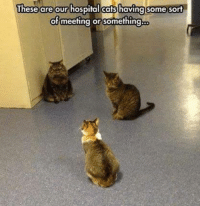 Cats, Grumpy Cat, and Hospital: These are our hospital cats having some  sort  of meeting or something