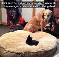 Dogs, Grumpy Cat, and Power: He's been here about a week and at 9 weeks old  has managed a power move on the dogs bed.