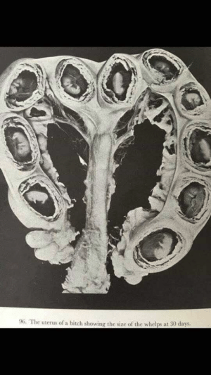 """Bitch, Puppies, and Dog: 96. The uterus of a bitch showing the size of the whelps at 30 days. A dog's uterus isn't sac-like as it is in humans, but it has two """"horns"""" where the puppies sit in rows next to each with their own placenta and amniotic sac."""