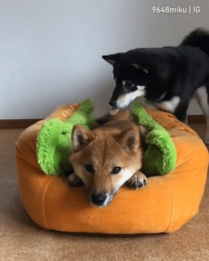 Who wants a double hot doge? By 9648miku | IG  Join The Barked Club to see more cute dog videos!: 9648miku IG  La Who wants a double hot doge? By 9648miku | IG  Join The Barked Club to see more cute dog videos!