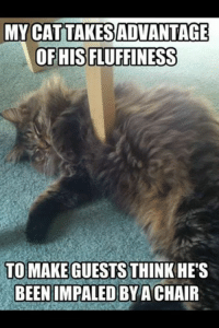 Impals: MY CAT TAKESADVANTAGE  OF HIS FLUFFINESS  TO MAKE GUESTS THINK HES  BEEN IMPALED BY A CHAIR