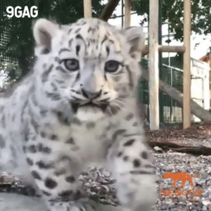 Roar! Snow leopard cubs are so scary!  By The Big Cat Sanctuary: 9GAG  rshe Roar! Snow leopard cubs are so scary!  By The Big Cat Sanctuary