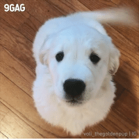 9gag, Blessed, and Memes: 9GAG  voli thegoldenpup IG You are blessed by the cutest boop🍀 By @voli_thegoldenpup - goldenretriever boop dog 9gag