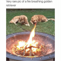 Golden Retriever: Very rare pic of a fire breathing golden  retriever