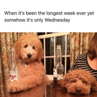 I need a drink...or 5 @hudsonthegoldendoodle: When it's been the longest week ever yet  somehow it's only Wednesday I need a drink...or 5 @hudsonthegoldendoodle