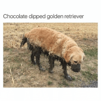 A true delicacy: Chocolate dipped golden retriever  ank Sinatra A true delicacy