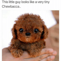 Chewbacca: This little guy looks like a very tiny  Chewbacca.