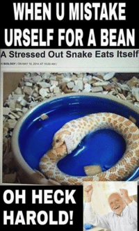 heck: WHEN U MISTAKE  URSELF FOR A BEAN  A Stressed Out Snake Eats Itself  BIOLOGY ON MAY 18, 2014AT 1000AM/  OH HECK  HAROLD!