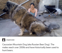 six pence ee  Caucasian Mountain Dog (aka Russian Bear Dog  The  males reach over 200lb and have historically been used to  hunt bears.