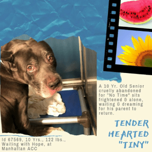 """TO BE KILLED – 7/9/2019  He's 10 years old, and when he should be next to his parent on the sofa, being pet and hugged and told he is their best friend in the world, he is instead sitting in a kennel at a kill shelter, terrified and confused and alone. He waits, he dreams, for the day his parent will return for him, certain this is a terrible mistake, but we know his owner cruelly walked away, handing over the leash as they said """"I don't have time for him."""" How could he toss away TINY, a dog who loved to be by their side, and who was respectful of children, happy and playful with small dogs, and respectful and good when approaching strangers on the street, waiting patiently for his parent to conclude their conversation so their walk could continue. This big, hulking, giant of a boy, gentle hearted to the core, dependent on his parent who was his world. Now he is in the one place he will never do well in, and that's because he needs a slow approach with new people, and he is terrified surrounded by all these strangers who come at him with slip leads that look like nooses, and the barking, crying dogs who surround him, and the certainty that this is not a good place to be if you are a dog without a home. He would be right. This wonderful boy with his sterling resume of skills, and his big loyal heart. Will you save him from a terrible fate – a lonely death without a friend by his side, as he draws his last breath and wonders what he ever did that deserved this? If you are an experienced foster or adopter in an adult only home who can give him a structured, quiet, calm home where he can decompress and then find his smile once again, hurry and MESSAGE our page or email us at MustLoveDogsNYC@gmail.com for assistance saving his life.   TINY, ID# 67569, 10 Yrs. old, 122.5 lbs, Unaltered Male Manhattan ACC, Extra Large Mixed Breed, Gray Owner Surrender Reason: NO TIME FOR TINY Shelter Assessment Rating: New Hope Rescue Only Medical Behavior Rating:   AT RISK NOTE: Tiny has """