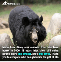 Moon bear Ginny's story didn't end when she was rescued from a Chinese bile farm. That was the end of cruelty, but it was also the beginning of a whole new life.  18 years on and Ginny is still enjoying the good life. She may now be a fully fledged moon bear granny, but she still likes to forage for food in her large grassy enclosure and keep the other bears in line.  This kind of life-long care is only possible because people around the world chose to help. They couldn't turn away from an animal in need - not just for the rescue but for the hard, long years of health care and support that is required after.  If you'd like to help bears like Ginny be rescued from lives of suffering and enjoy lives worth living, sponsor a bear today and give monthly:  animalsasia.org/intl/donate/sponsor-a-bear/  Thank you.: A AnimalsAsia  Moon bear Ginny was rescued from bile farm  horror in 2000. 18 years later, she's still going  strong, she's still smiling, she's still loved. Thank  you to everyone who has given her the gift of life. Moon bear Ginny's story didn't end when she was rescued from a Chinese bile farm. That was the end of cruelty, but it was also the beginning of a whole new life.  18 years on and Ginny is still enjoying the good life. She may now be a fully fledged moon bear granny, but she still likes to forage for food in her large grassy enclosure and keep the other bears in line.  This kind of life-long care is only possible because people around the world chose to help. They couldn't turn away from an animal in need - not just for the rescue but for the hard, long years of health care and support that is required after.  If you'd like to help bears like Ginny be rescued from lives of suffering and enjoy lives worth living, sponsor a bear today and give monthly:  animalsasia.org/intl/donate/sponsor-a-bear/  Thank you.