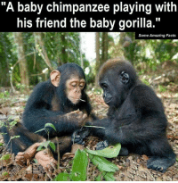 """baby gorilla: """"A baby chimpanzee playing with  his friend the baby gorilla.""""  Some Amazing Facts"""