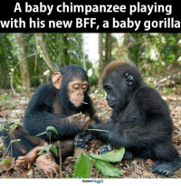 It's true what  they say, opposites do attract <3: A baby chimpanzee playing  with his new BFF, a baby gorilla  ExploreTalent It's true what  they say, opposites do attract <3