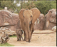 Elephant, Proud, and Baby: A Baby elephant and her proud mama
