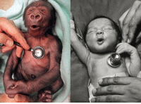 Cold, Baby, and Human: A baby gorilla and a baby human reacting to a cold stethoscope.