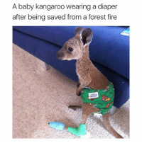 So cute (@hilarious.ted): A baby kangaroo wearing a diaper  after being saved from a forest fire So cute (@hilarious.ted)